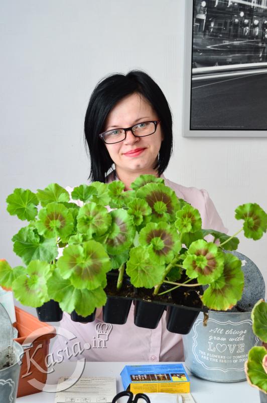 Jak Sadzić Sadzonki Pelargonii Uprawa Pelargonii Kasiain
